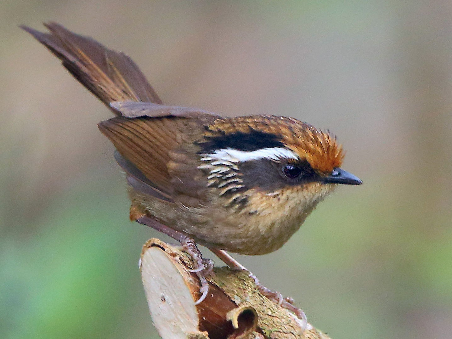 Rusty-capped Fulvetta - Albin Jacob
