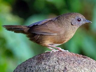 - Spot-throated Babbler