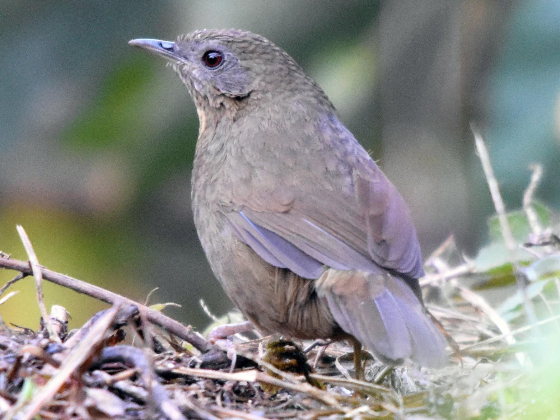 Spot-throated Babbler - Steve Bale