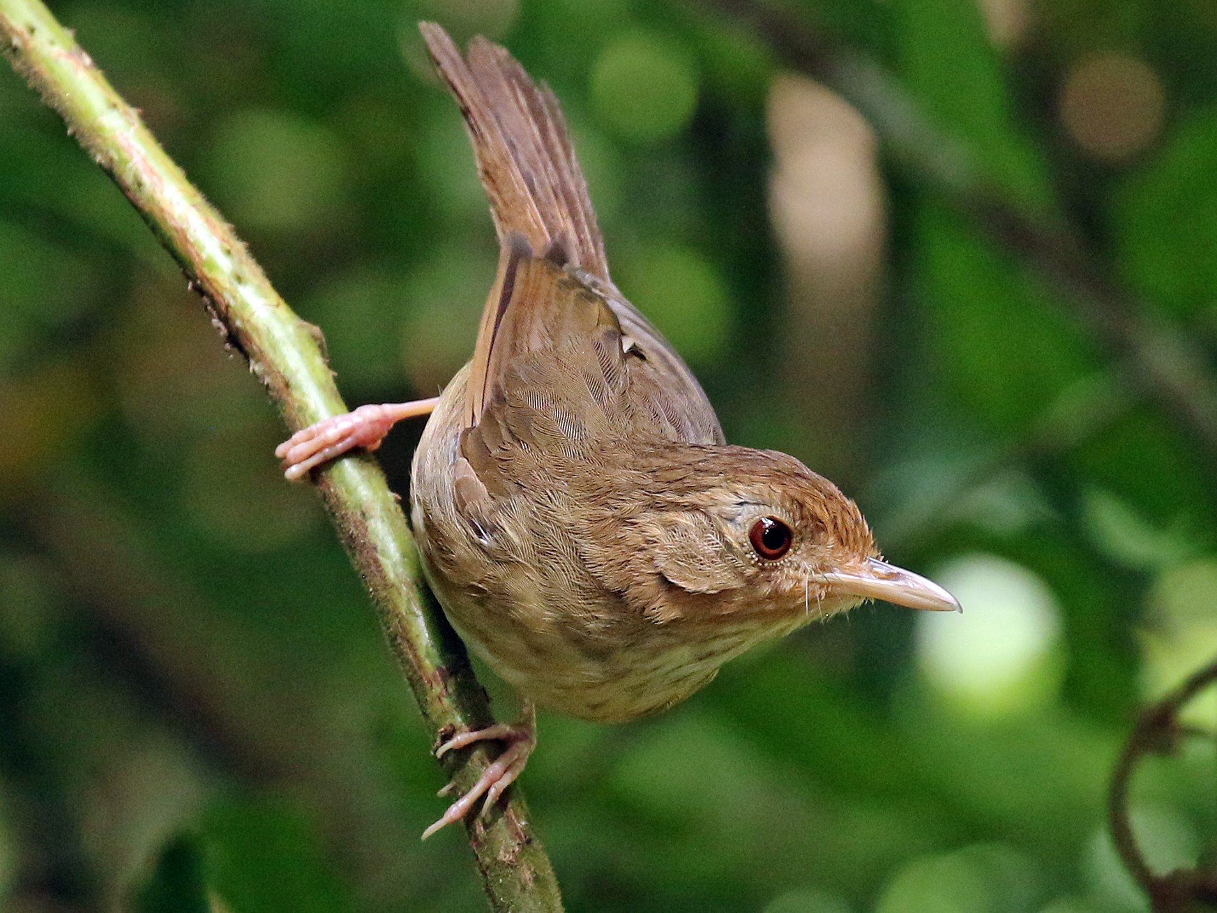 Buff-breasted Babbler - Dave Bakewell
