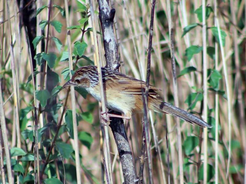 Chinese Grassbird - Lean Huth (CBGA)