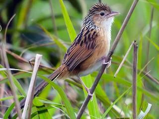 - Chinese Grassbird