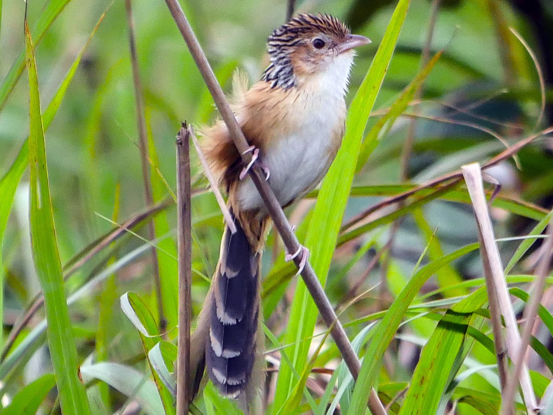 Chinese Grassbird - Tim Boucher