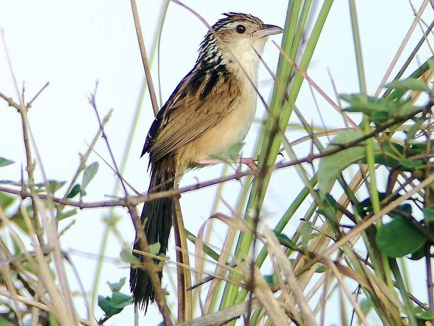 Chinese Grassbird - Sarom Reth