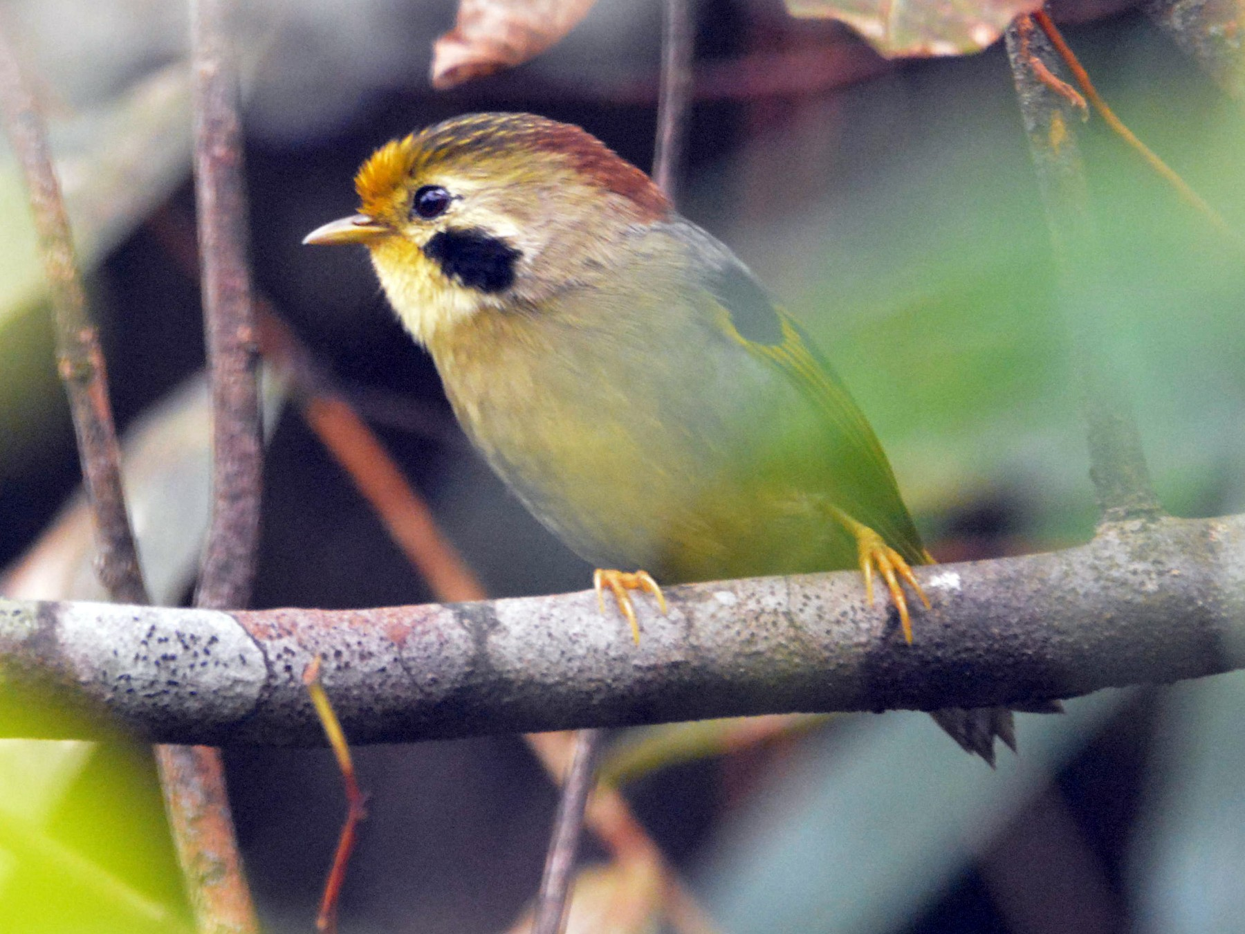 Gold-fronted Fulvetta - Luting Song