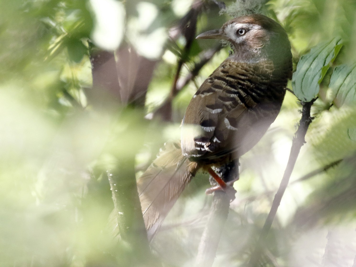 Barred Laughingthrush - Dave Curtis