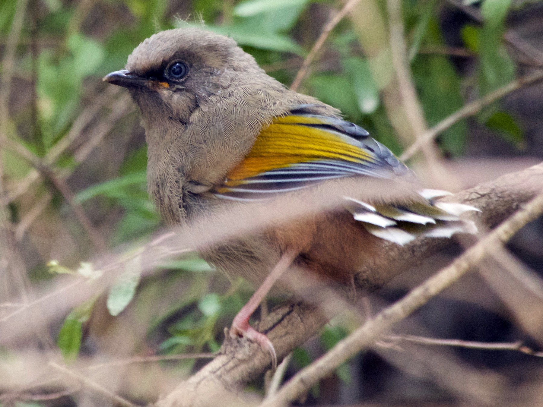Elliot's Laughingthrush - Anonymous eBirder