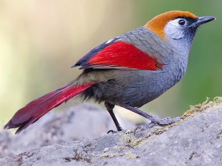 - Red-tailed Laughingthrush