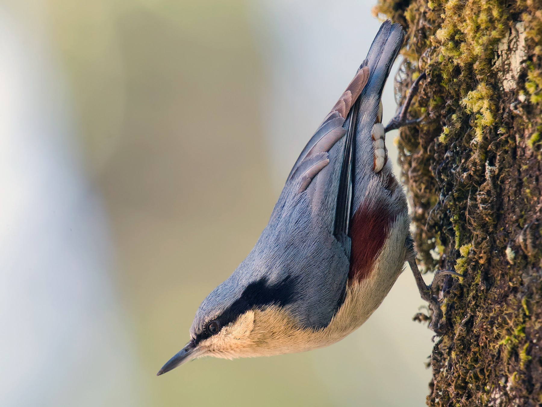 Chestnut-vented Nuthatch - Craig Brelsford