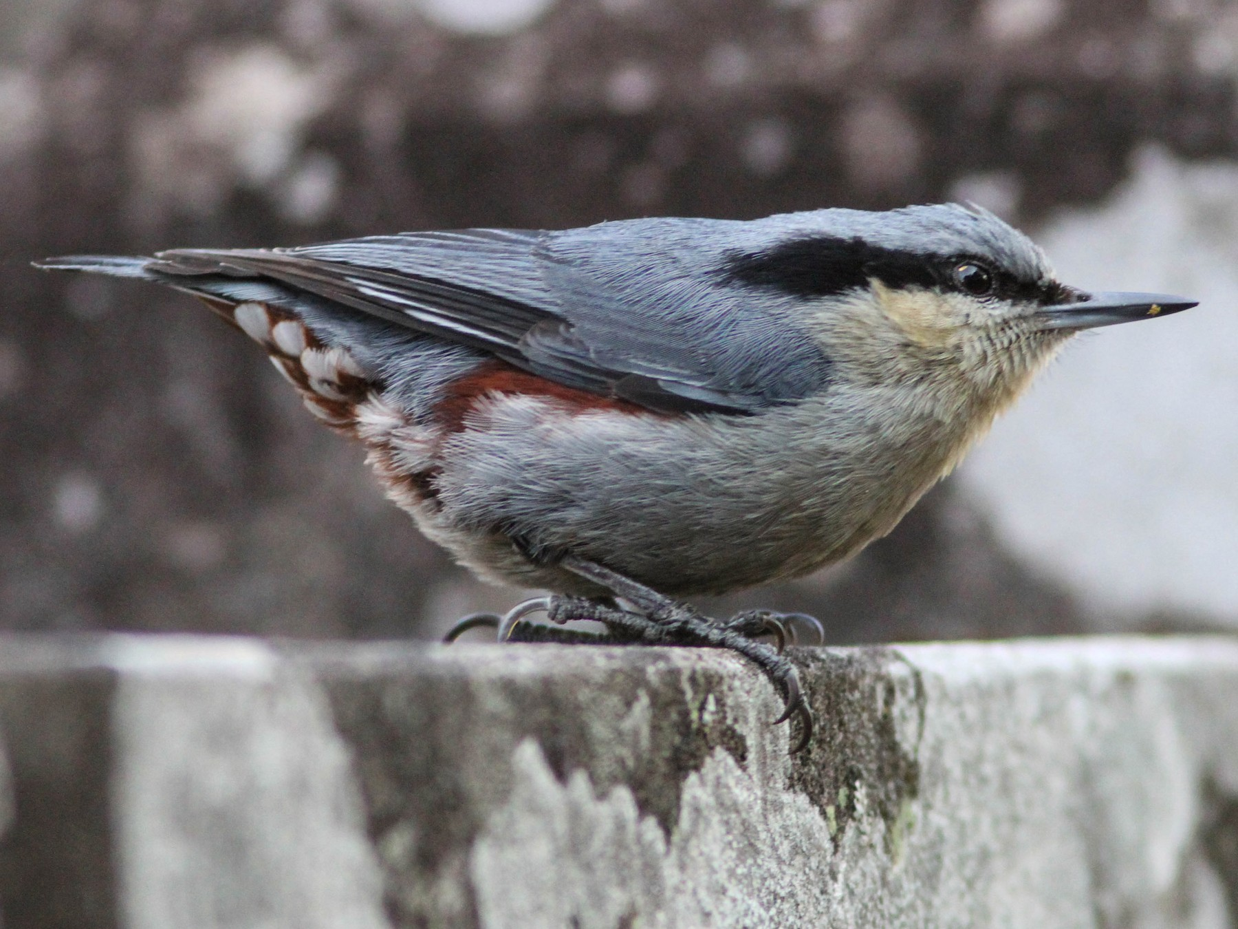 Chestnut-vented Nuthatch - Paul Hyde