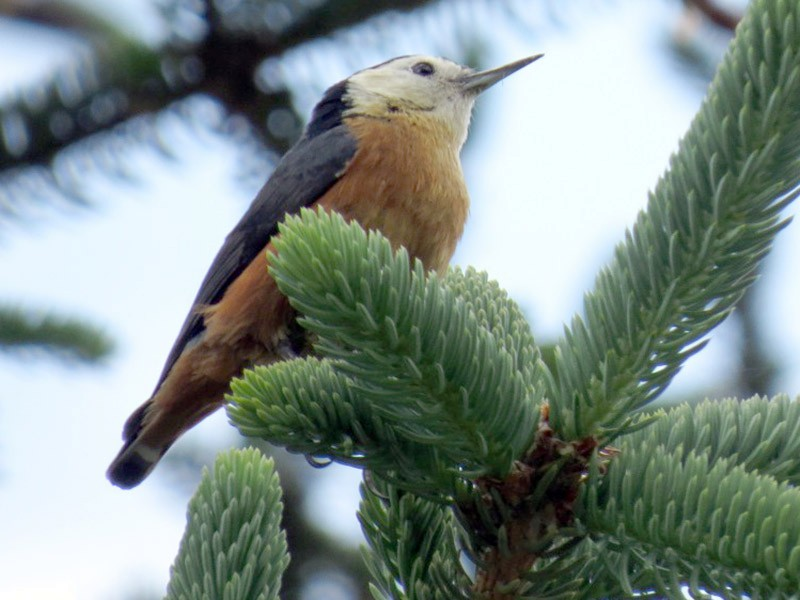 Przevalski's Nuthatch - Mark Smiles