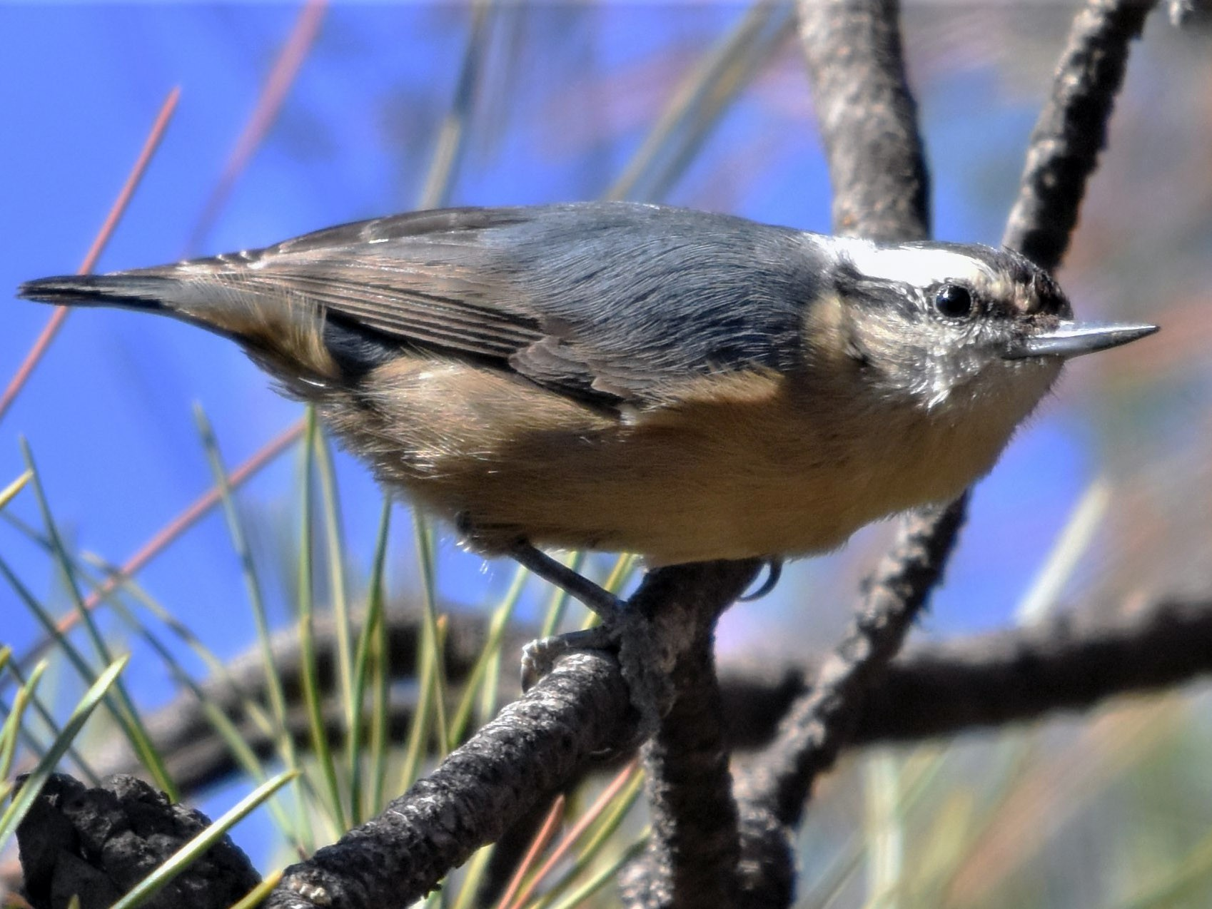 Snowy-browed Nuthatch - Steve Bale