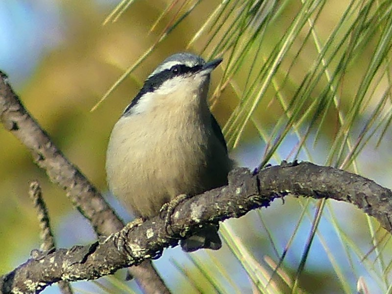 Yunnan Nuthatch - Shelley Rutkin