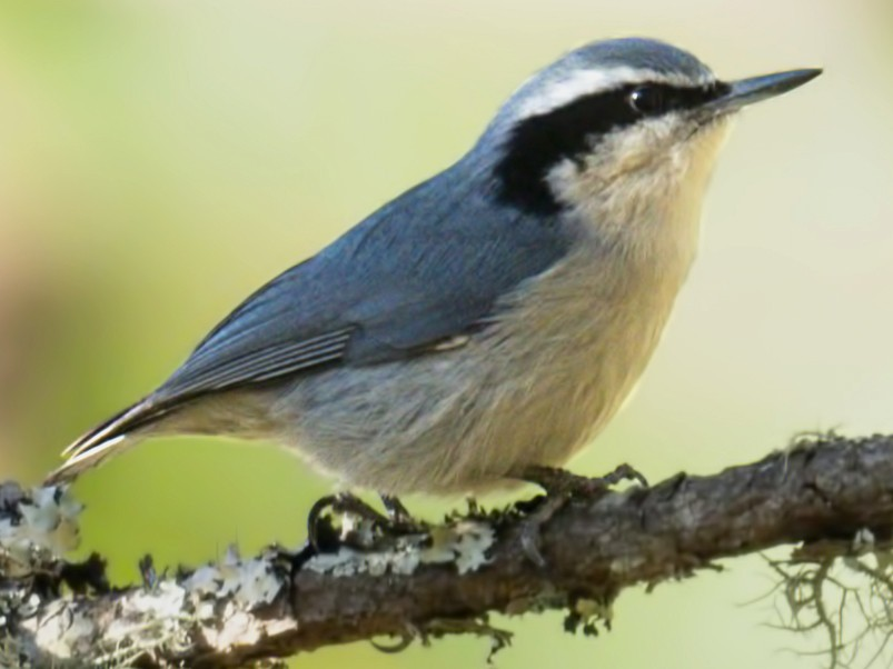 Yunnan Nuthatch - Harish Thangaraj