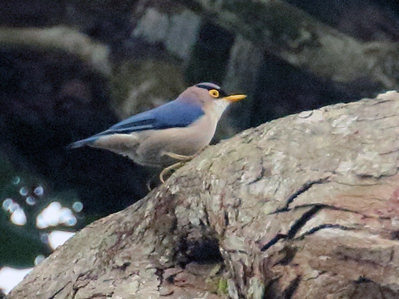 Yellow-billed Nuthatch - Stan Lilley