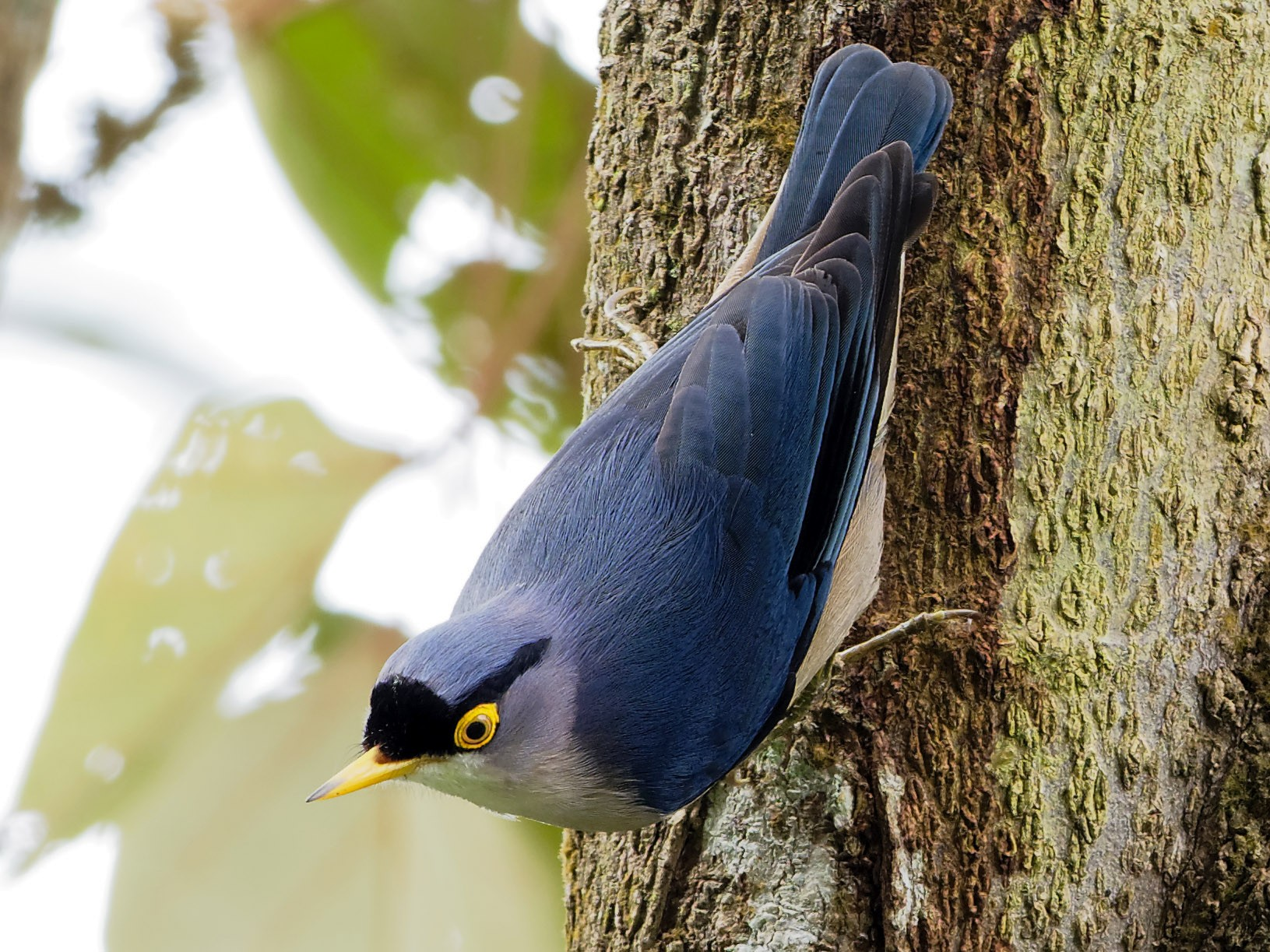 Yellow-billed Nuthatch - Vincent Wang