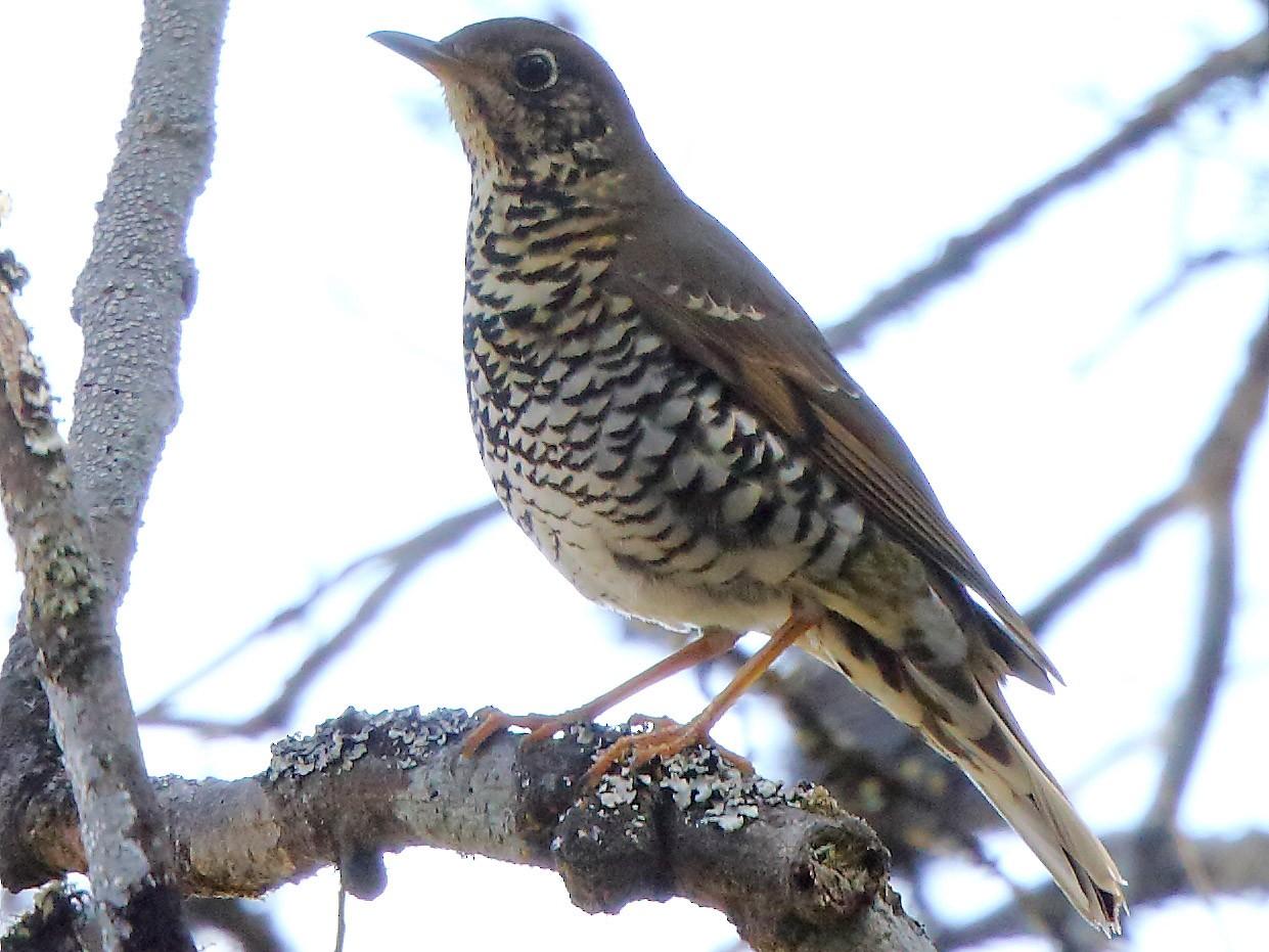 Long-tailed Thrush - Albin Jacob
