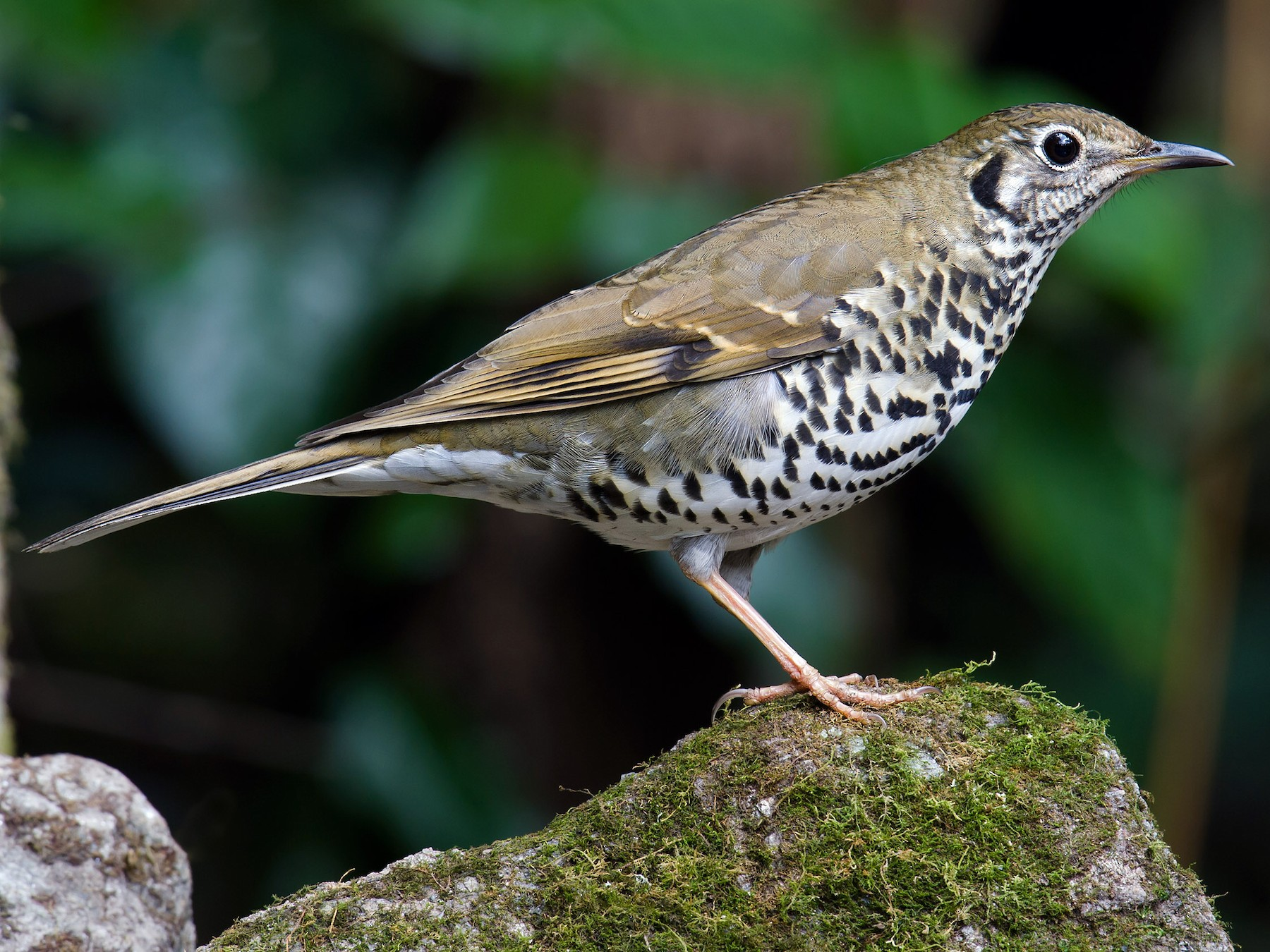 Long-tailed Thrush - Craig Brelsford