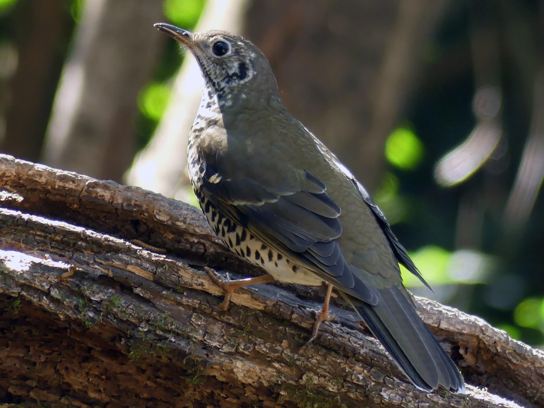 Long-tailed Thrush - Shelley Rutkin