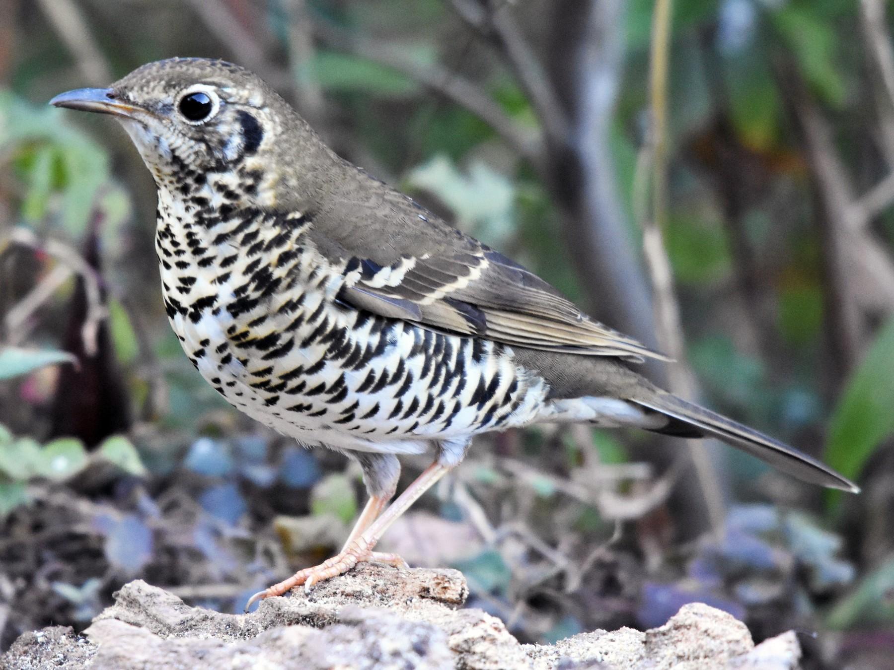 Long-tailed Thrush - Steve Bale