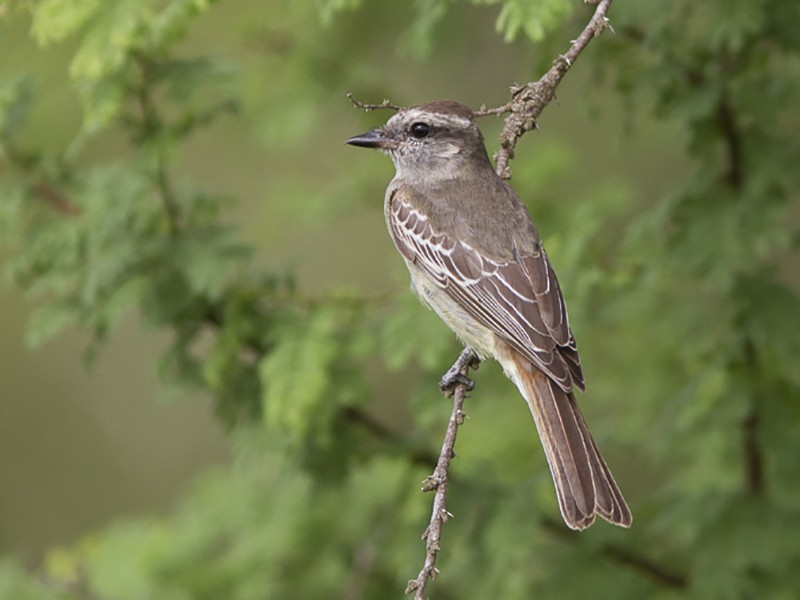 Crowned Slaty Flycatcher - Silvia Faustino Linhares