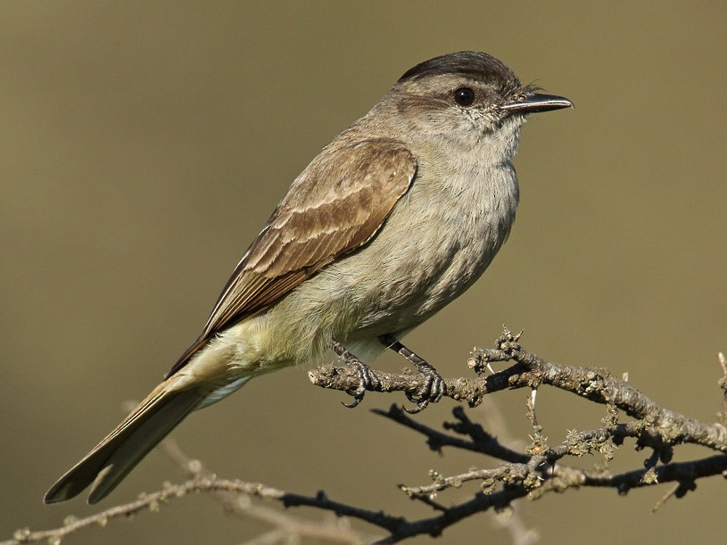 Crowned Slaty Flycatcher - Martjan Lammertink