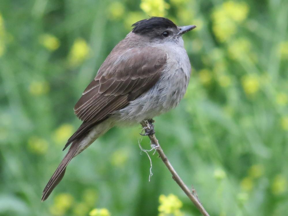 Crowned Slaty Flycatcher - Enric Fontcuberta Trepat