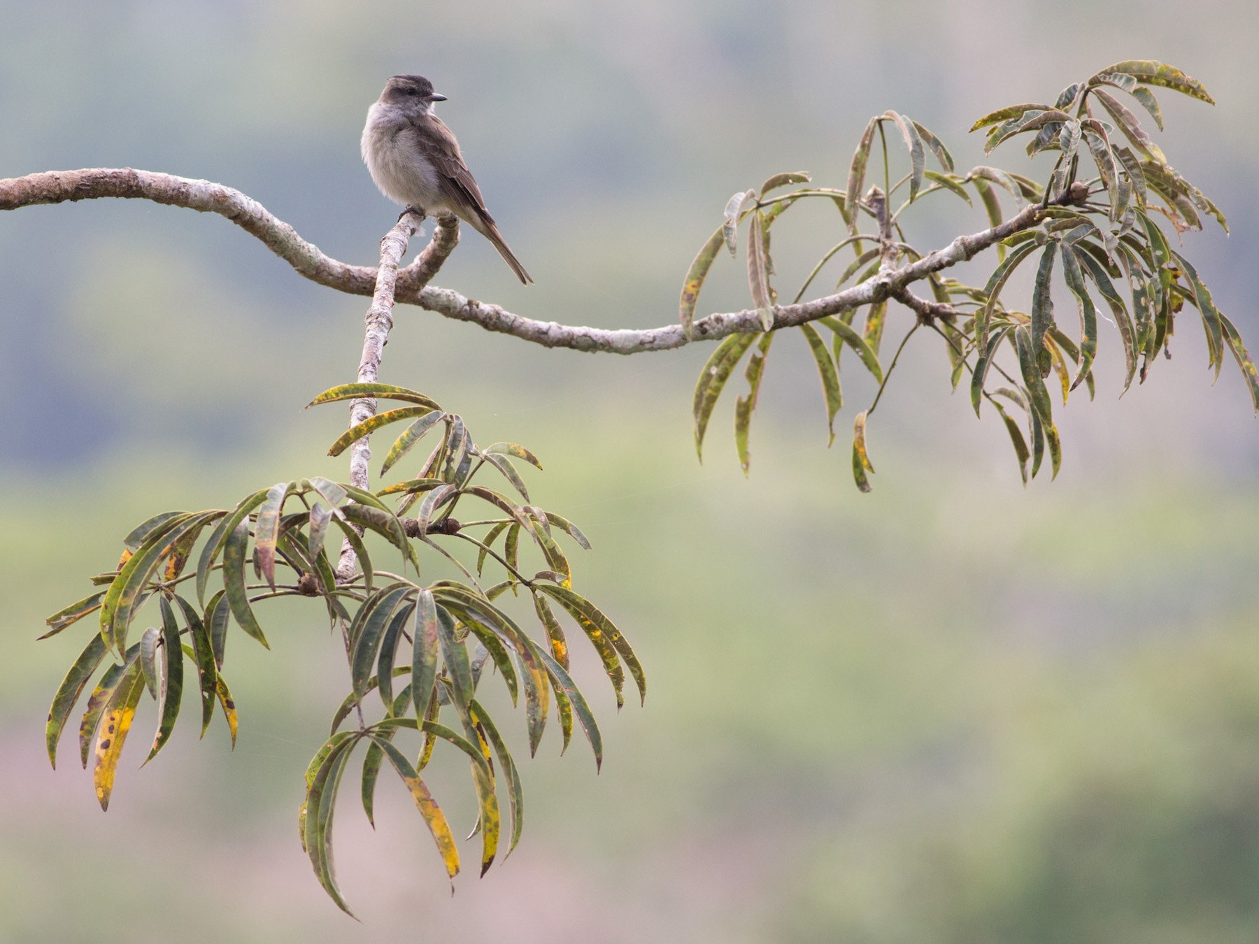Crowned Slaty Flycatcher - Darren Clark