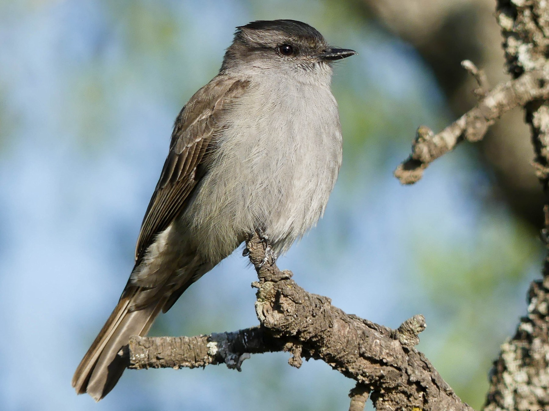 Crowned Slaty Flycatcher - Jorge  Quiroga