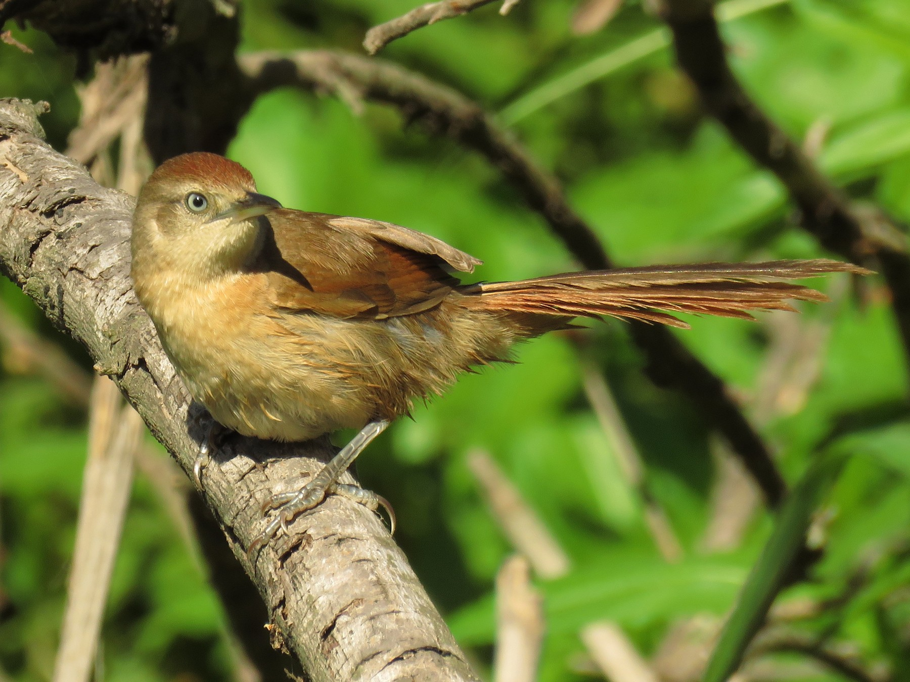 Freckle-breasted Thornbird - Teresa Pegan 🦋