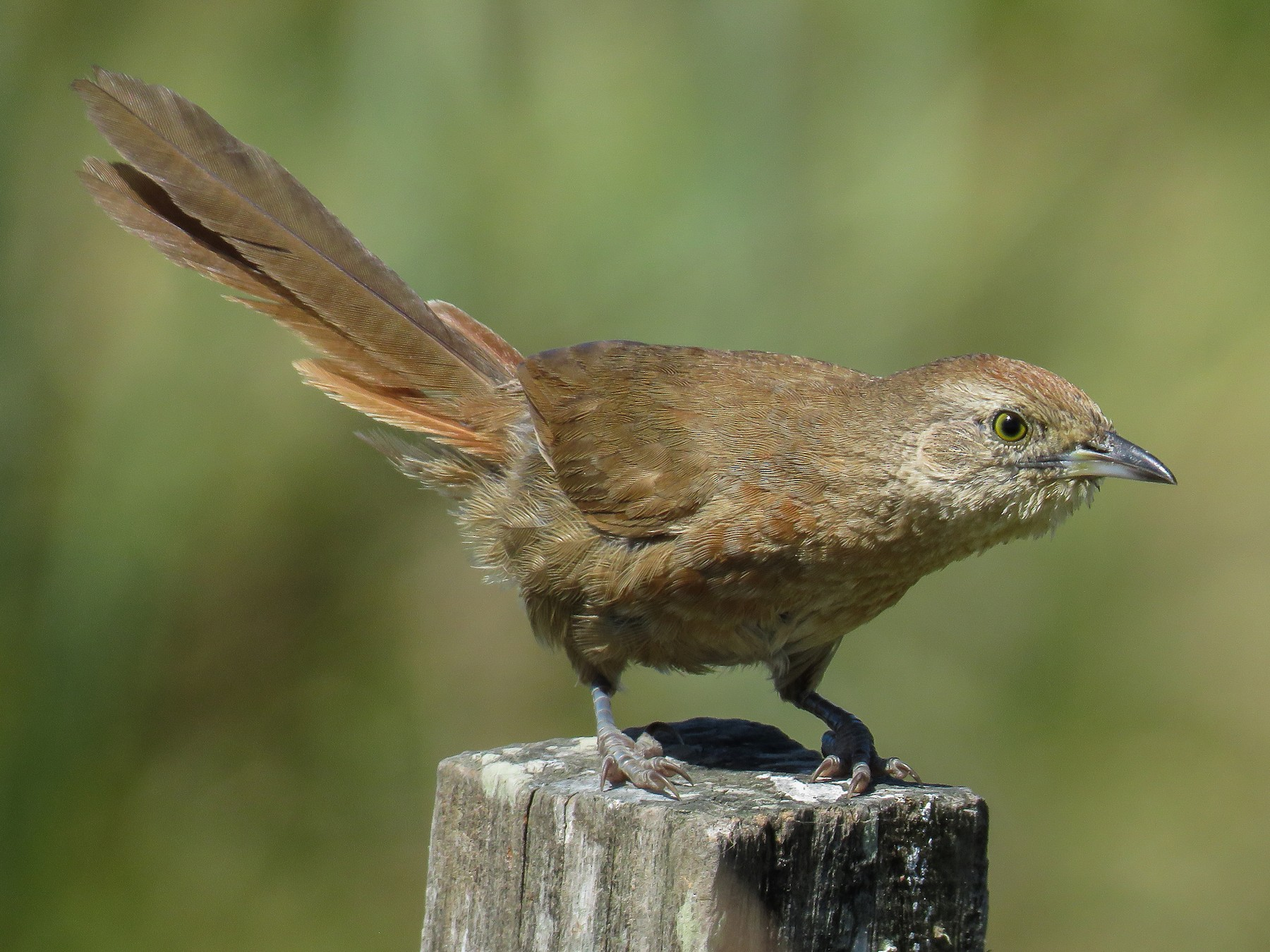 Freckle-breasted Thornbird - Raphael Kurz -  Aves do Sul