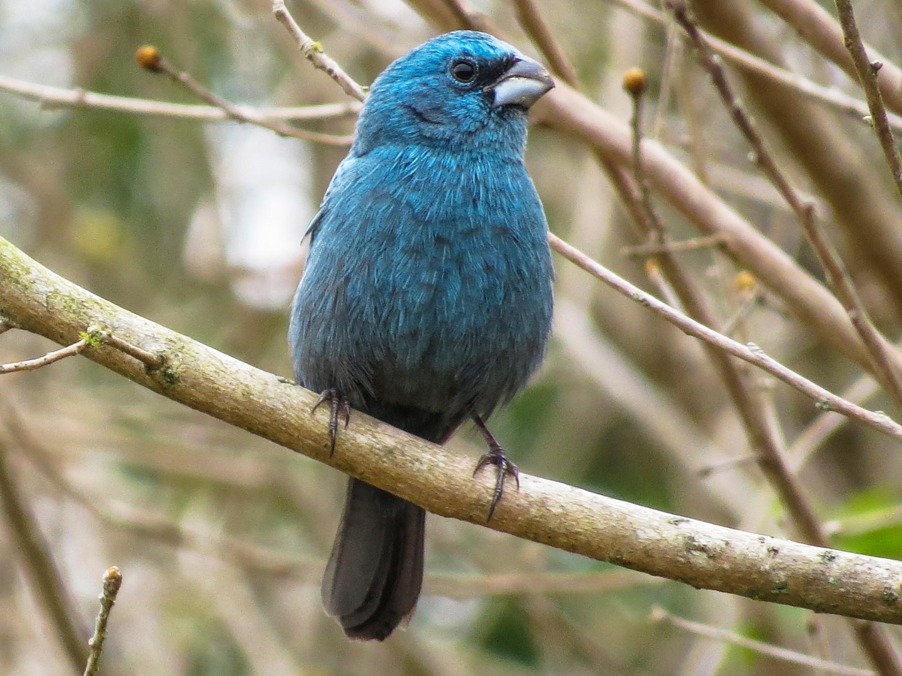 Glaucous-blue Grosbeak - Raphael Kurz -  Aves do Sul
