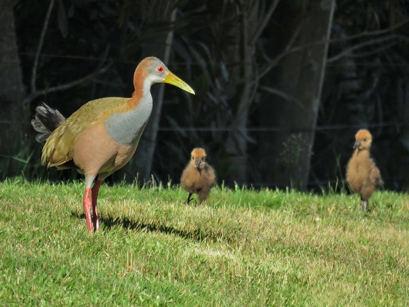 Giant Wood-Rail - Birdwatching Punta del Este