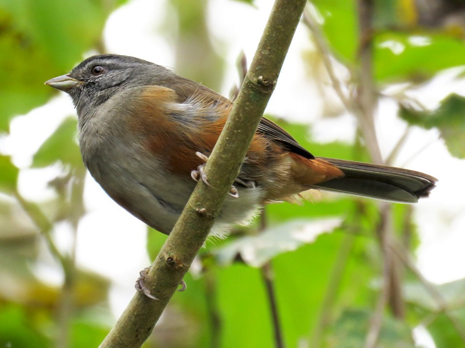 Gray-throated Warbling-Finch - Adrian Antunez