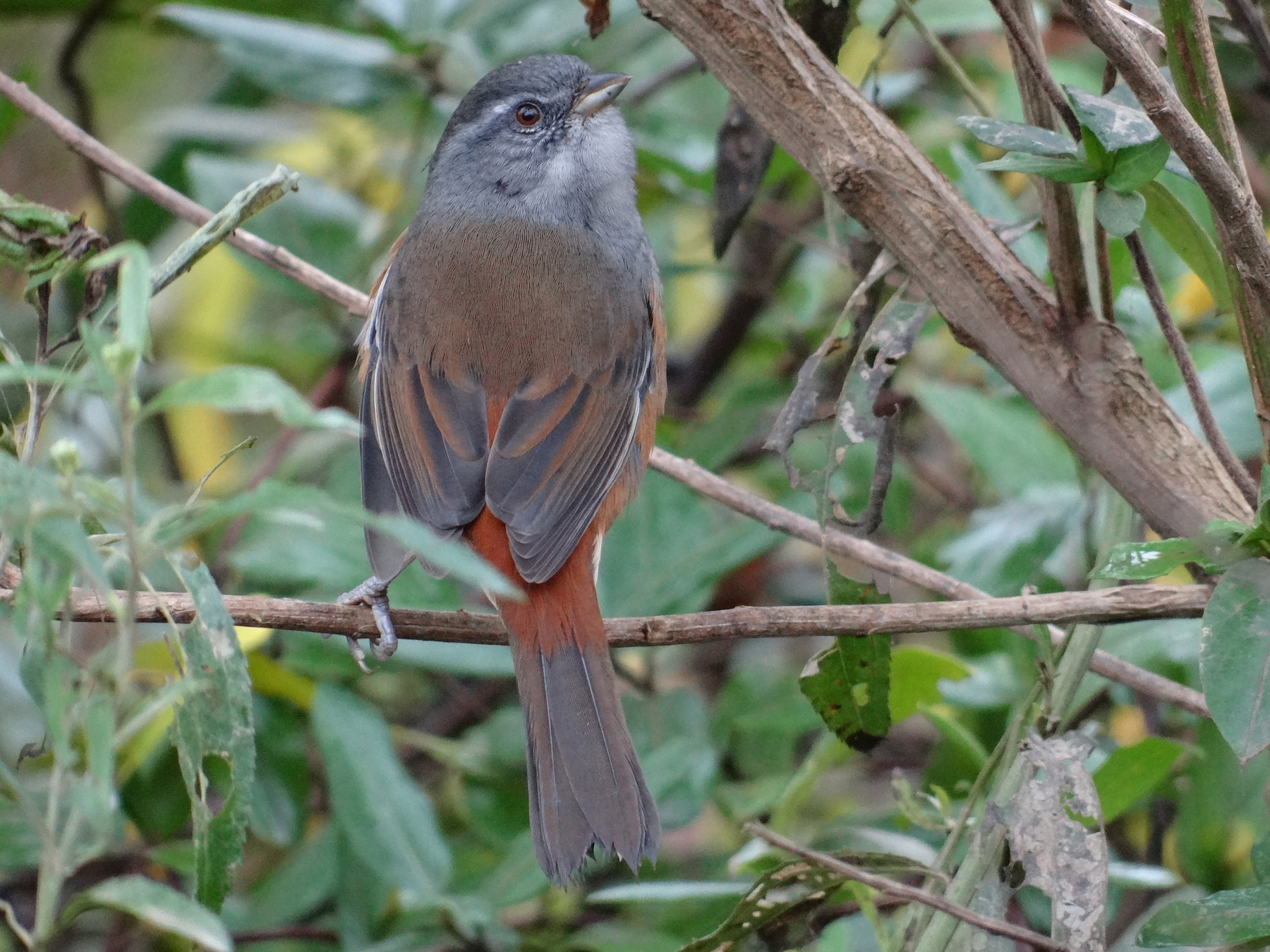 Gray-throated Warbling-Finch - Andrés de Miguel