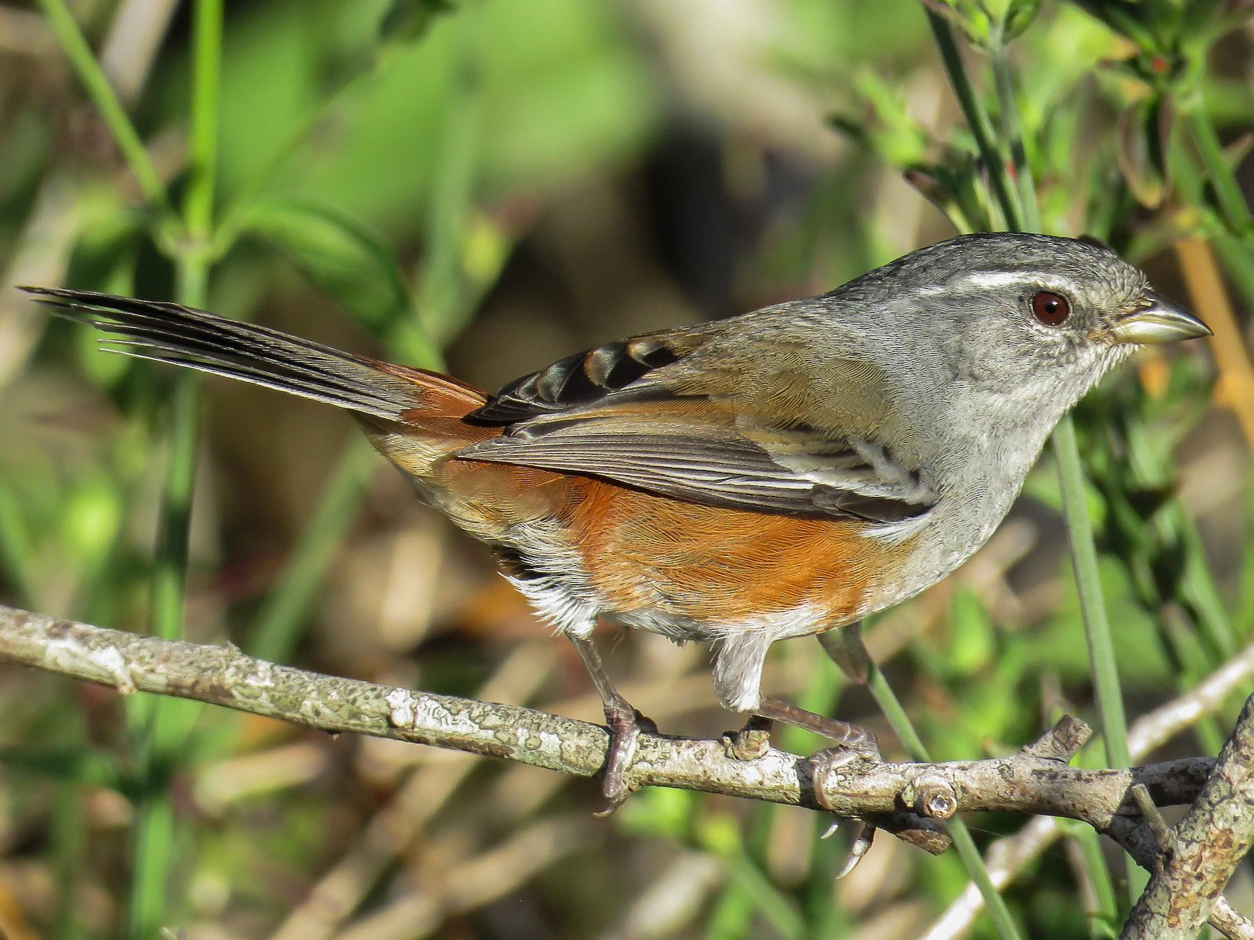 Gray-throated Warbling-Finch - Raphael Kurz -  Aves do Sul