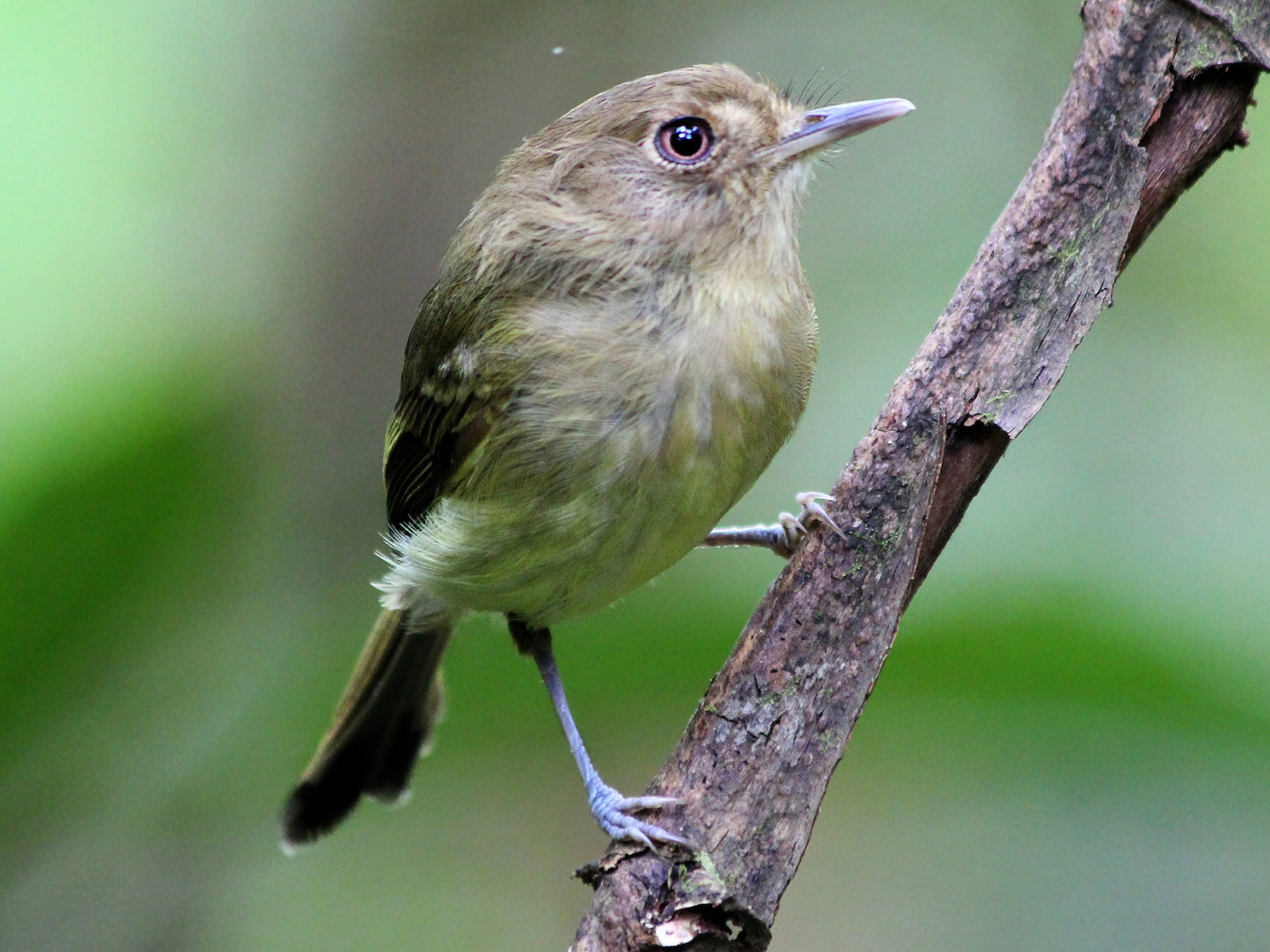 Kaempfer's Tody-Tyrant - Guilherme  Willrich
