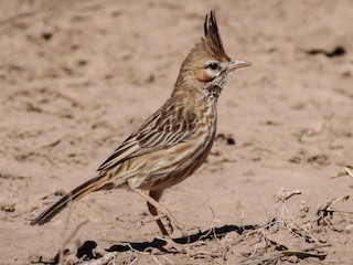 - Lark-like Brushrunner