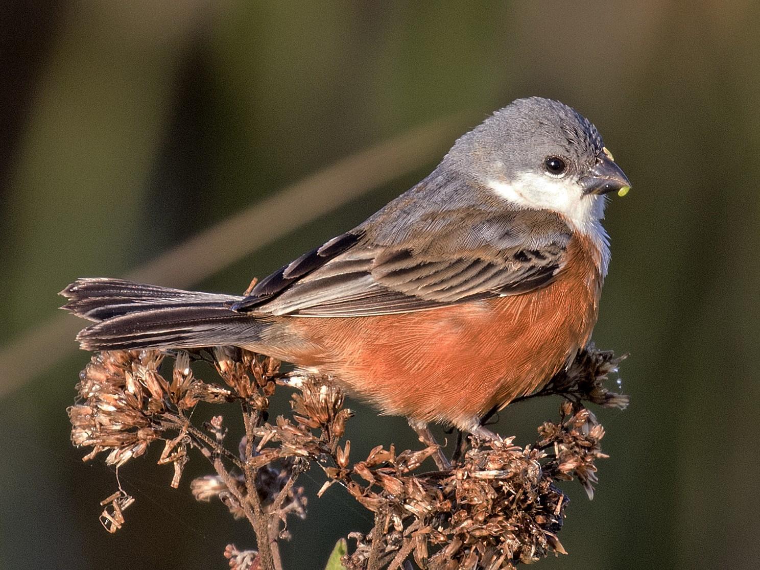 Marsh Seedeater - Steven Whitebread