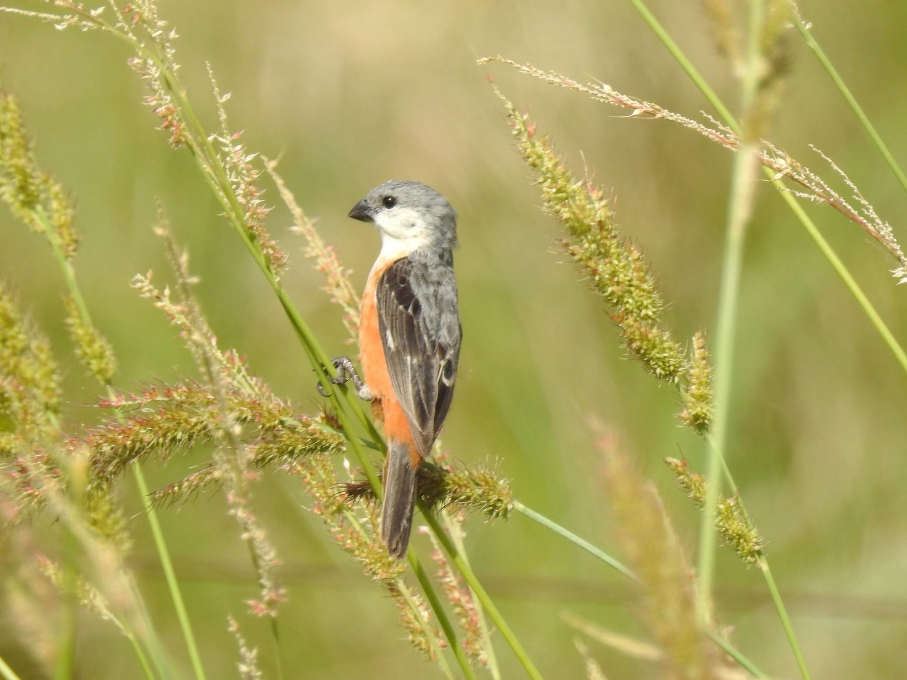 Marsh Seedeater - Edelweiss  Enggist
