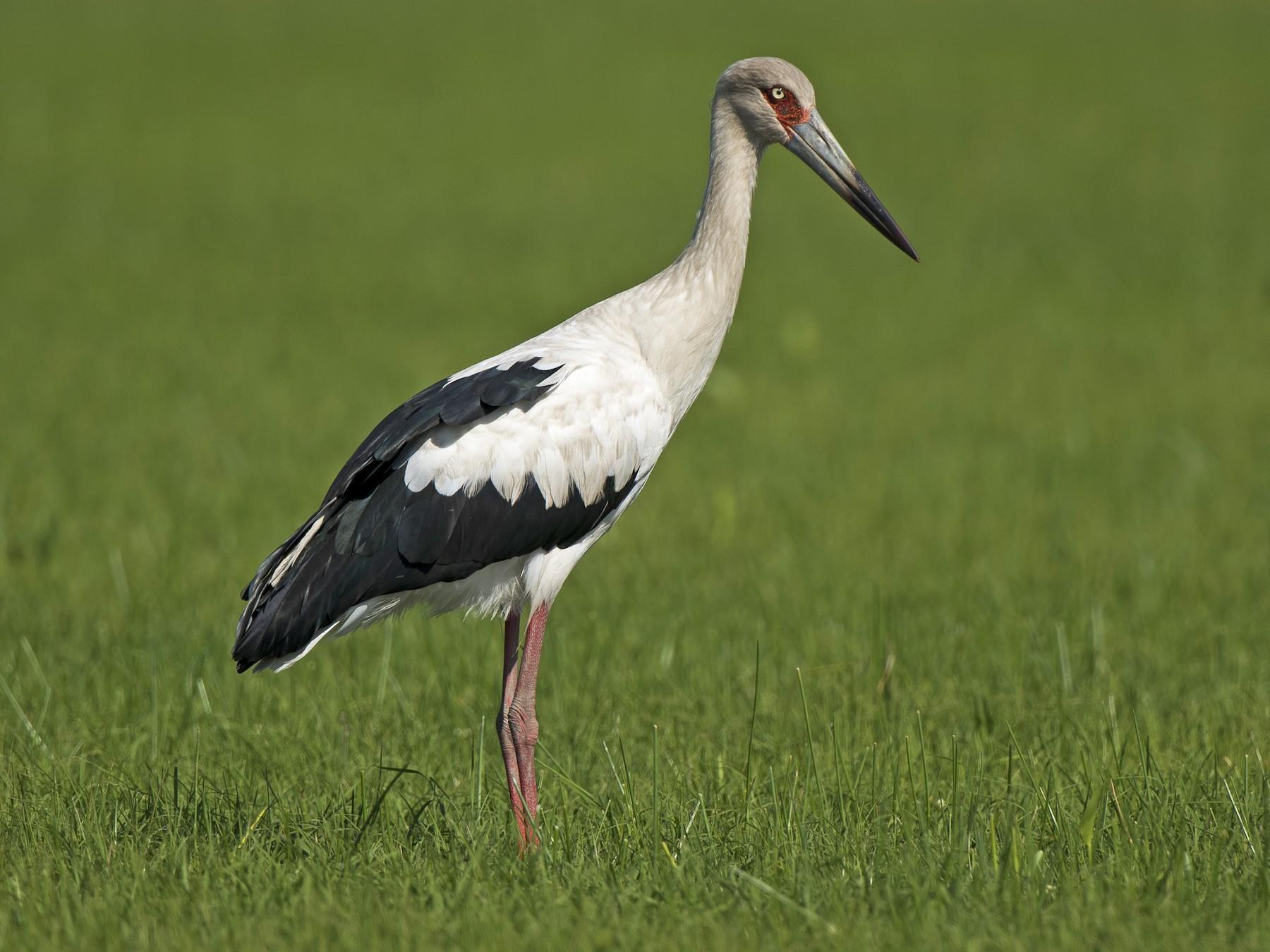 Maguari Stork - Luiz Carlos Ramassotti