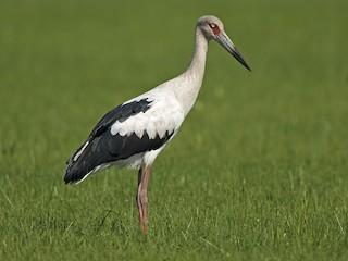 - Maguari Stork
