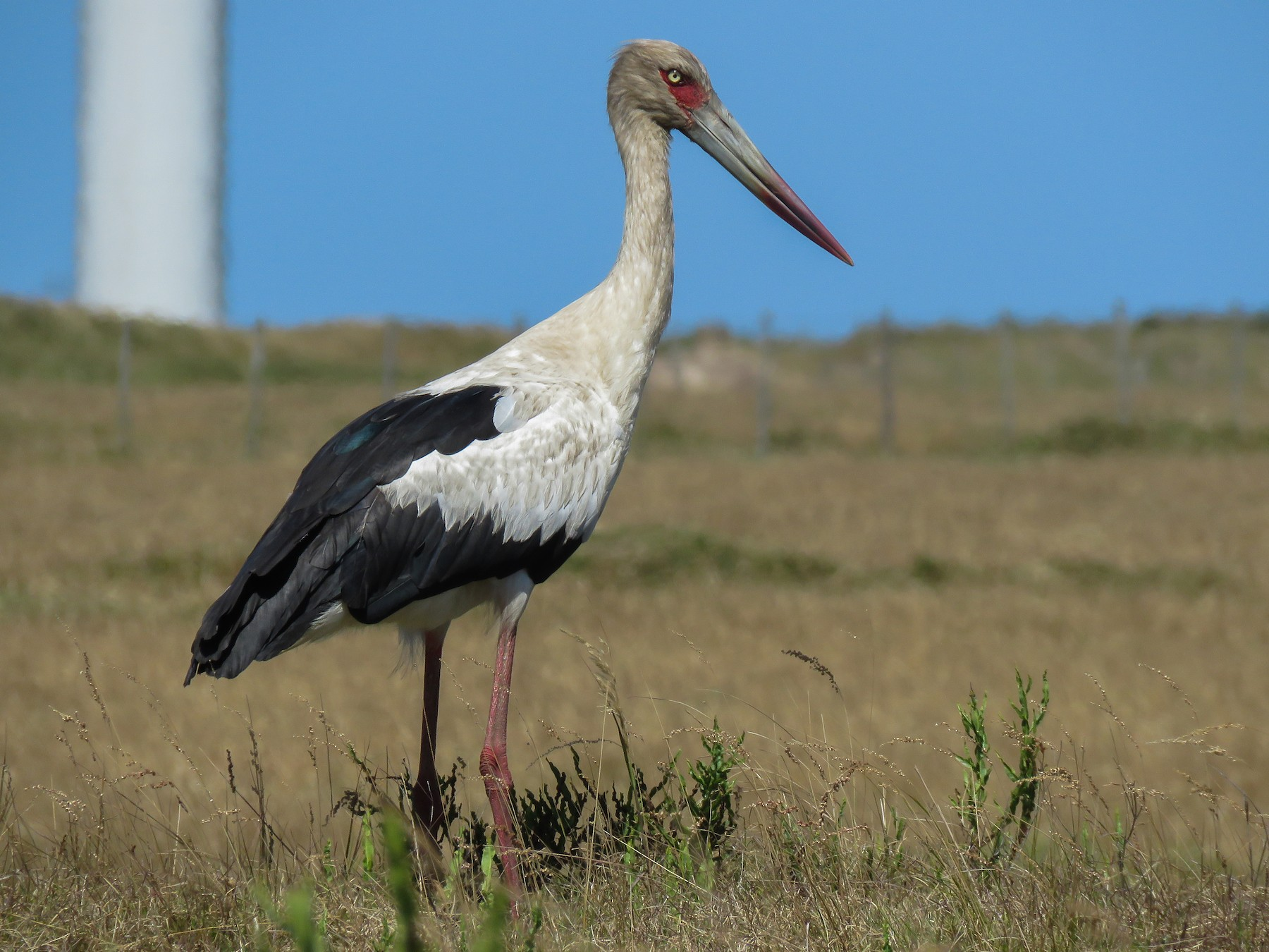 Maguari Stork - Raphael Kurz -  Aves do Sul