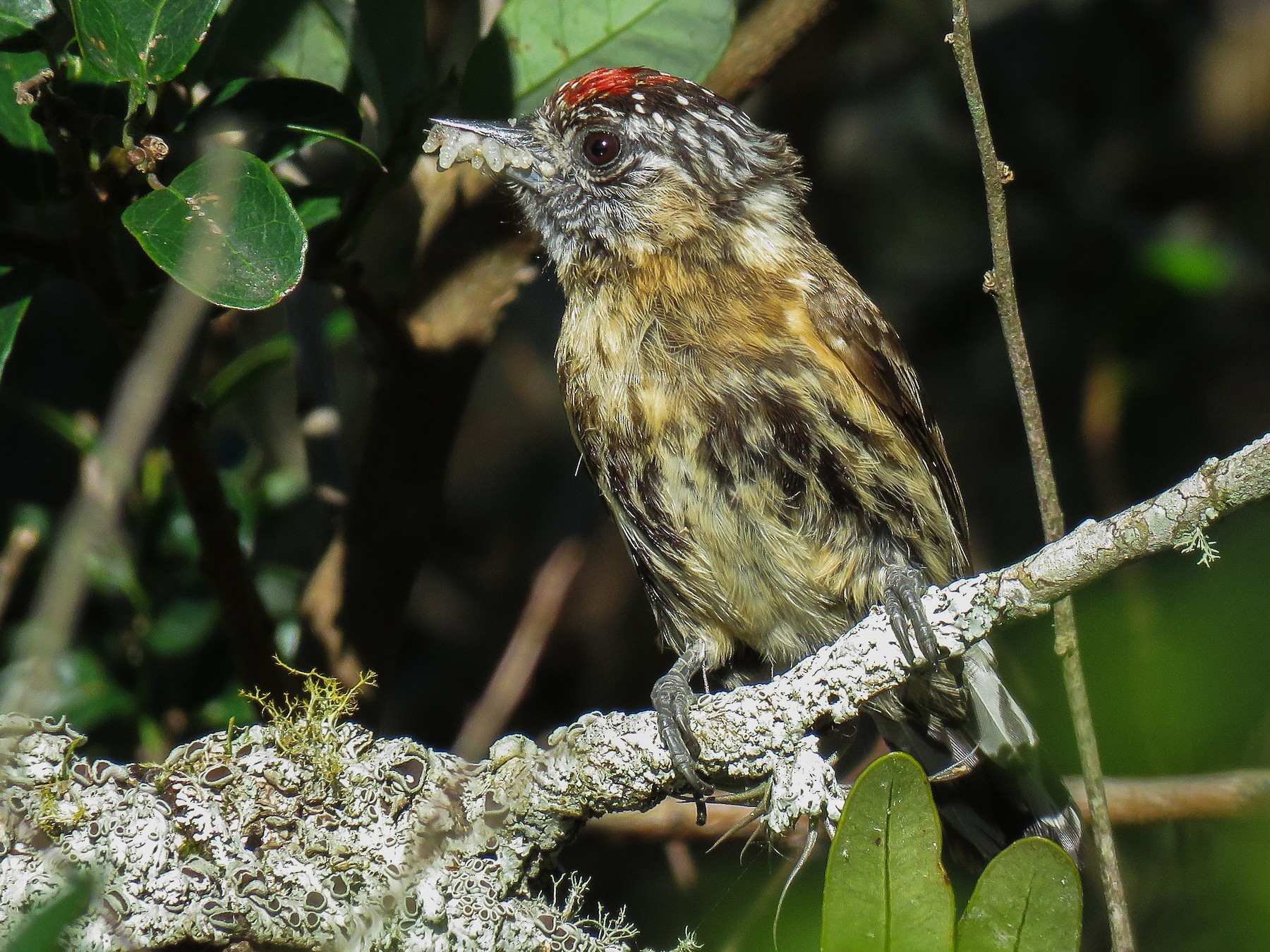 Mottled Piculet - Raphael Kurz -  Aves do Sul