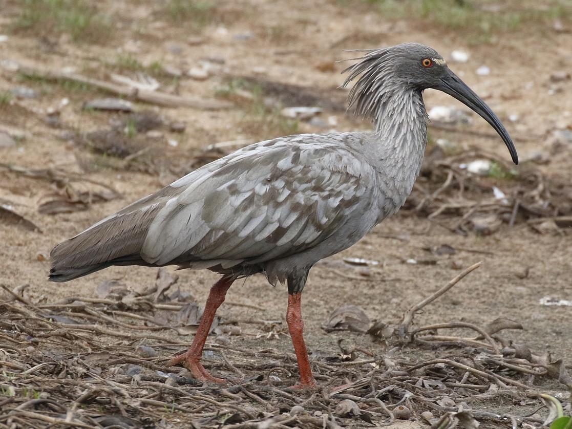 Plumbeous Ibis - Dave Curtis