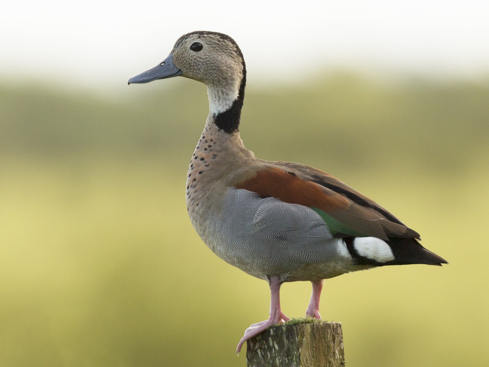 Ringed Teal - Gonzalo Campaña Fourcade