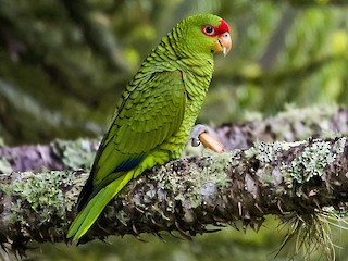 - Red-spectacled Parrot