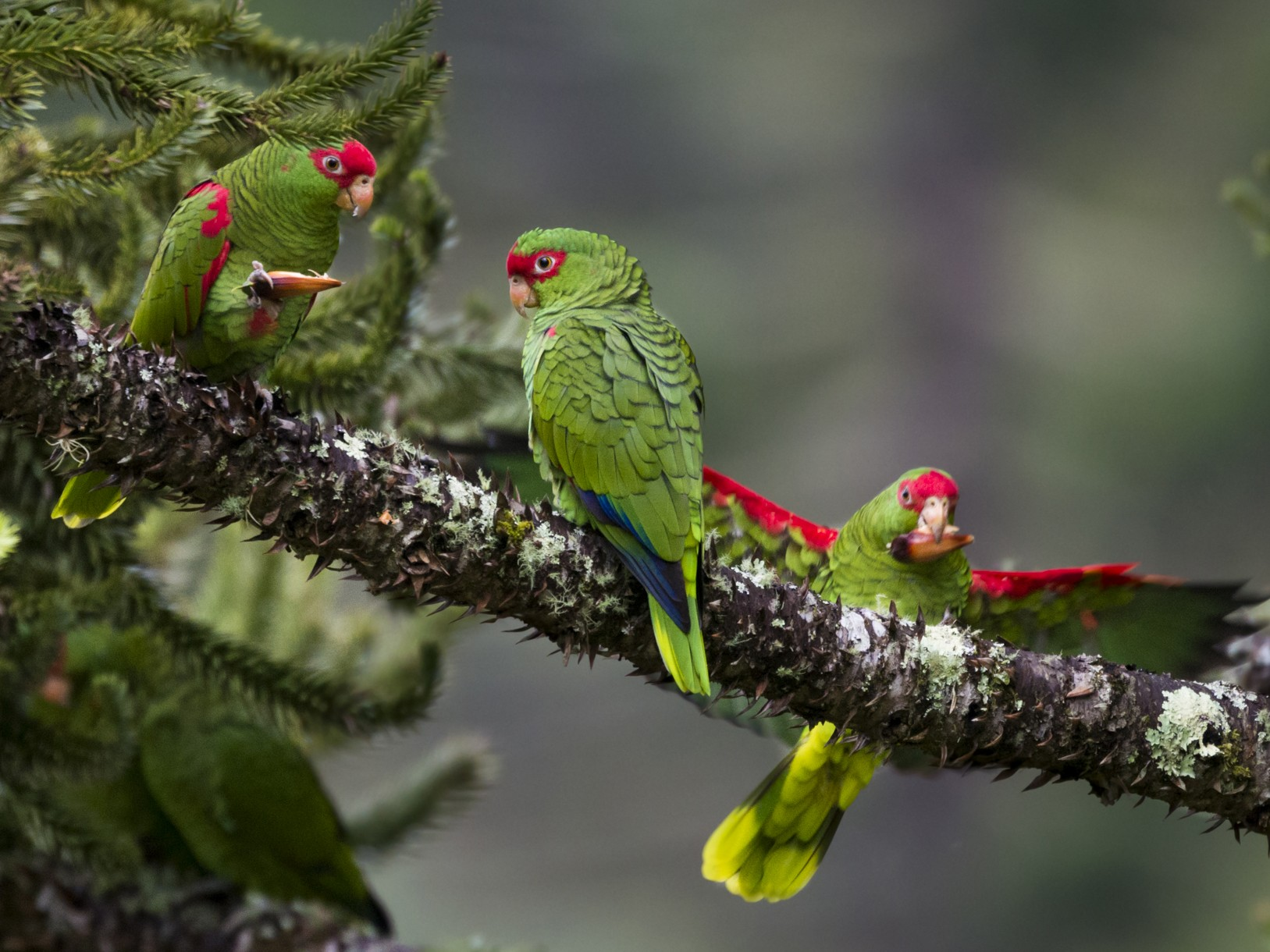 Red-spectacled Parrot - Claudia Brasileiro