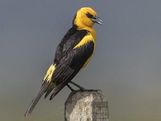- Saffron-cowled Blackbird