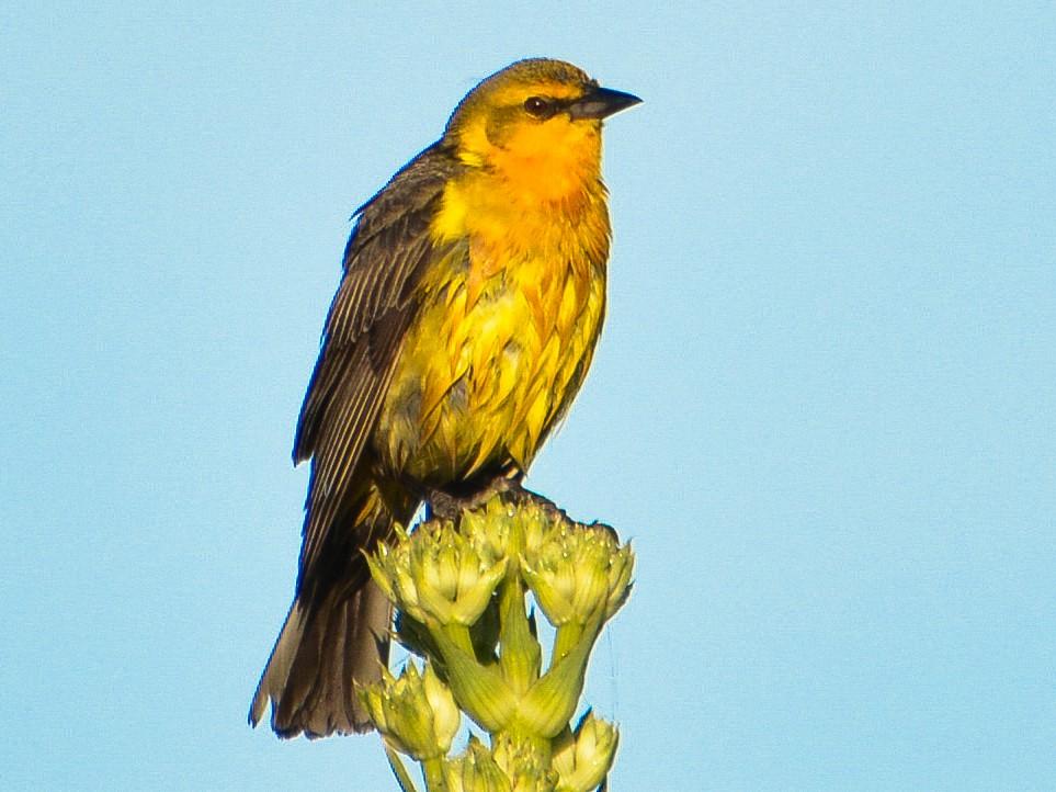 Saffron-cowled Blackbird - João Gava Just